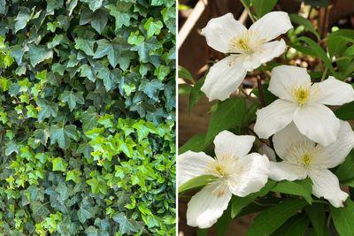 Borderplan Liam - Borderpakket klimplanten - schutting trellis - Klimop & clematis - witte bloemen