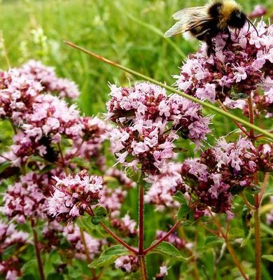 Wilde marjolein - Origanum vulgare 'Thumble's Variety'