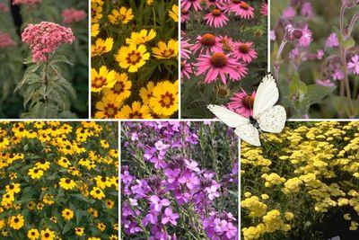 Borderplan Saar - Borderpakket vaste planten - vlindertuin - Roze & geel - Zon