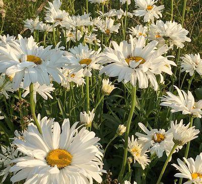 Margriet - Leucanthemum 'Sonnenschein'