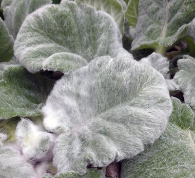 Zilversalie - Salvia Argentea