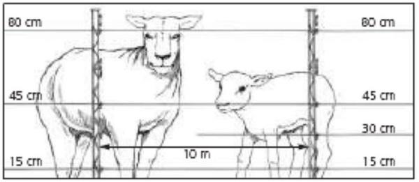 hoogte schrikdraad schaap