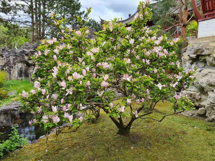 klant foto magnolia boom