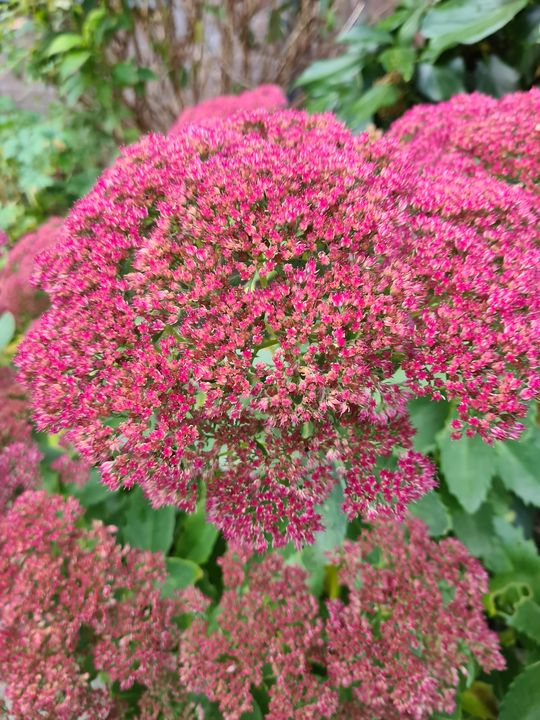 Roze hemelsleutel vetkruid borderplanten tuinplanten