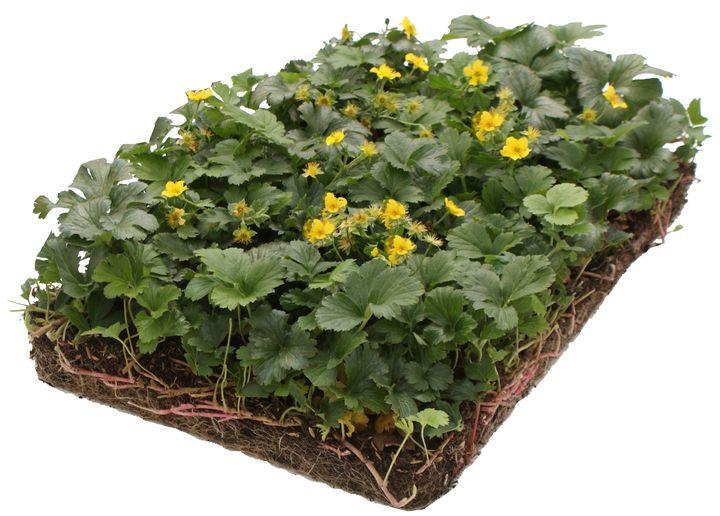 Goudaardbei bodembedekkers plantenmatten