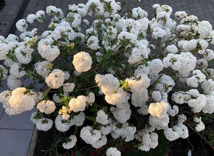 Viburnum eskimo tuinplanten heesters