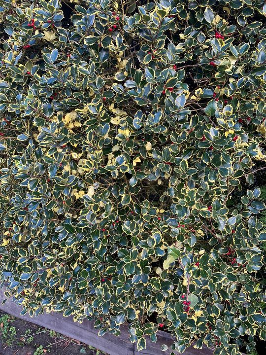 Bonte hulst tuinplanten blad