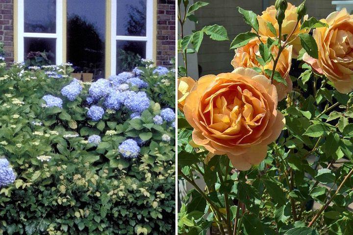 Borderpakket hortensia en roos heester struiken