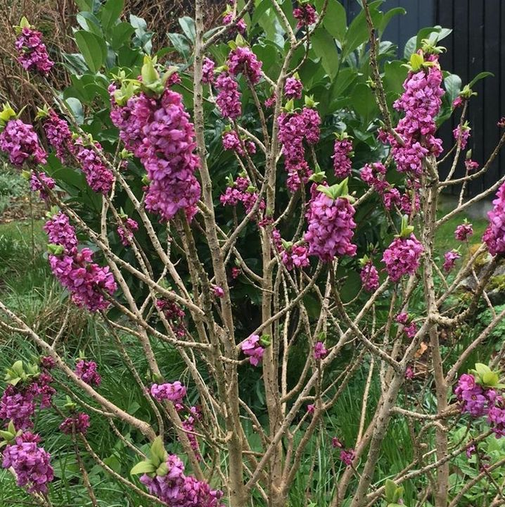 Bloeiende heesters border tuin peperboompje