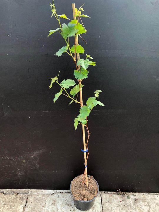 witte druif vroege van der laan druif klimplant
