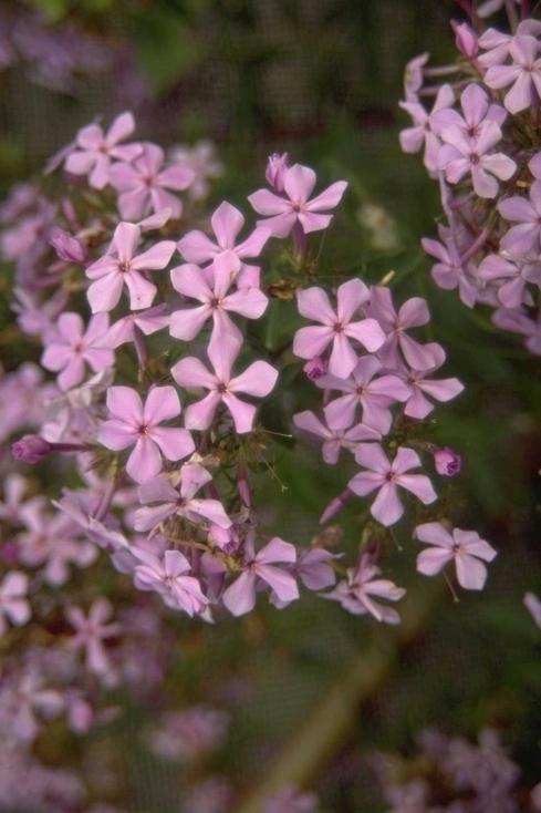Herfstsering - Phlox paniculata