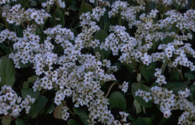 Schoenlappersplant - Bergenia 'Bressingham White'