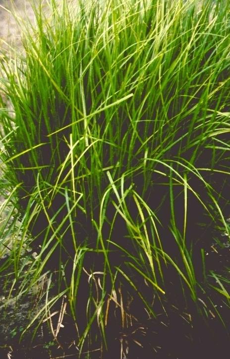 Palmzegge - Carex muskingumensis