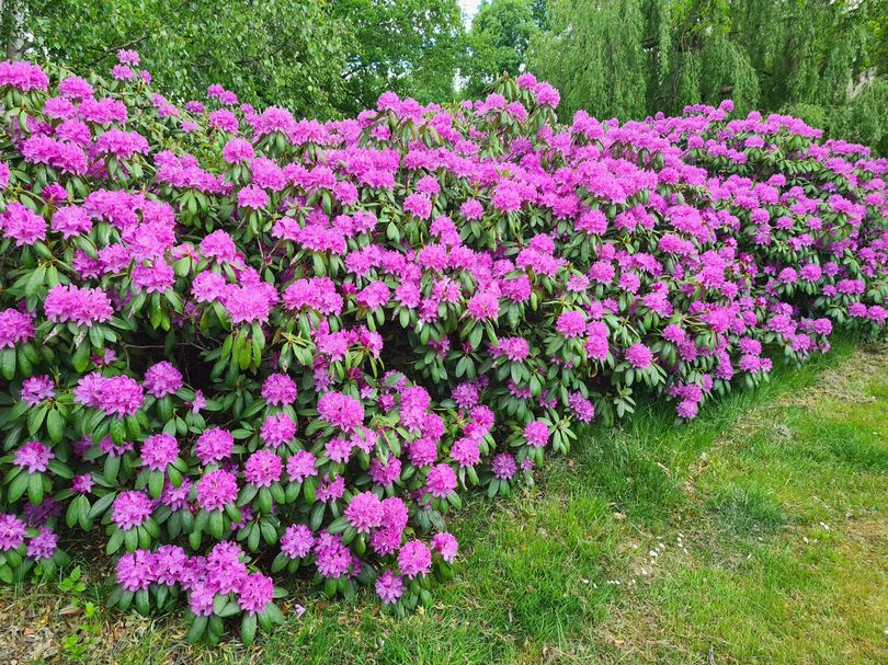 Rhododendron als haag
