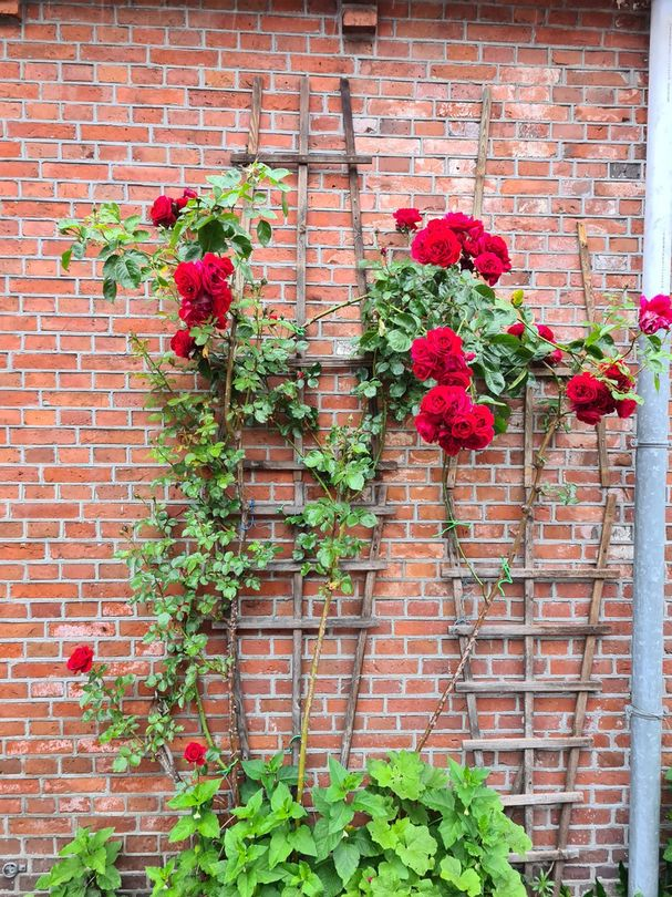 Rosa grand hotel rode rozen klimrozen rood