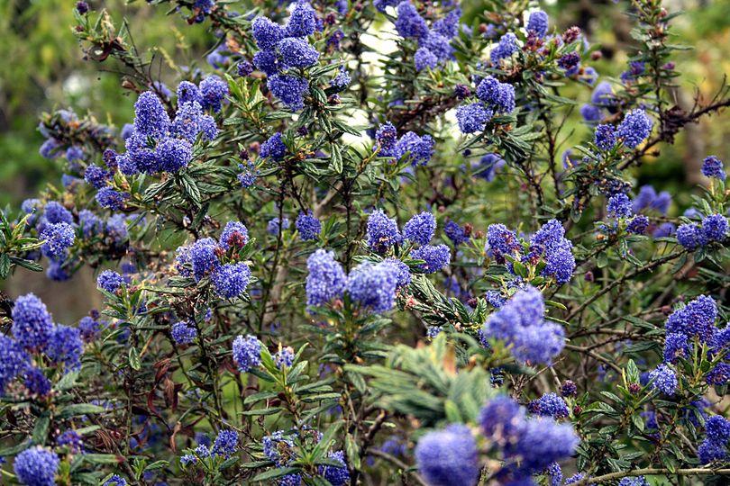 Ceanothus arboreus 'Trewithen Blue' bloeifoto
