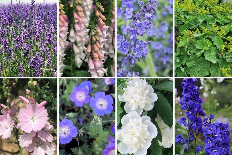 Borderplan William - Borderpakket engelse tuin - Paars, wit & roze