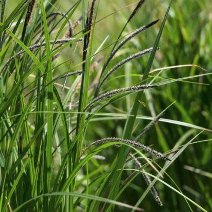 Hangende Zegge - Carex pendula