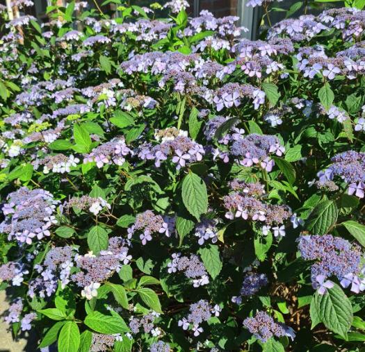 Schermhortensia tuin