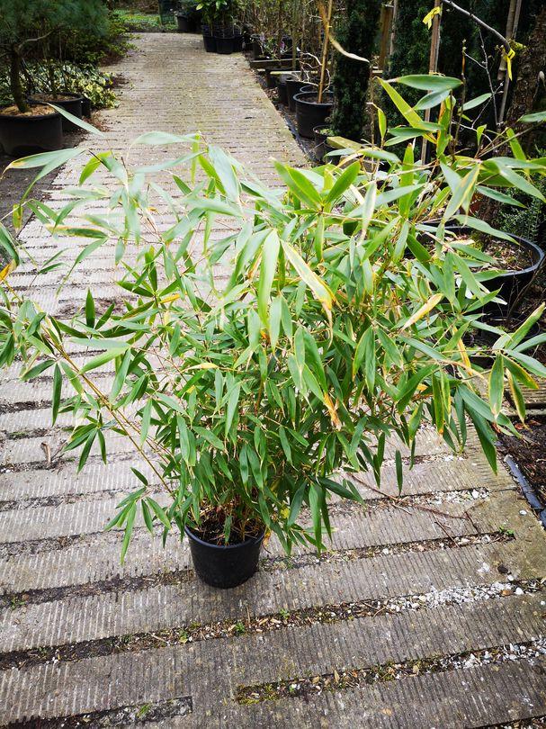 Bamboe ping wu