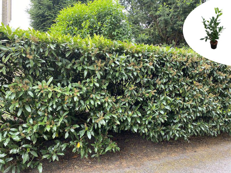 Prunushagen yarinde bladhoudende haagplanten