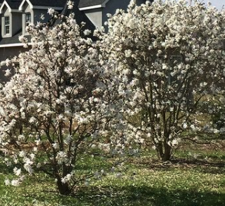 Stermagnolia - Magnolia stellata