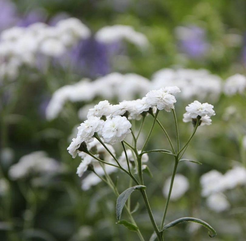 Tuinplanten wit bijen borderpakketten