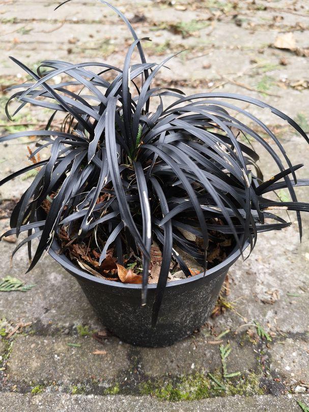 Zwart gras siergras foto 1