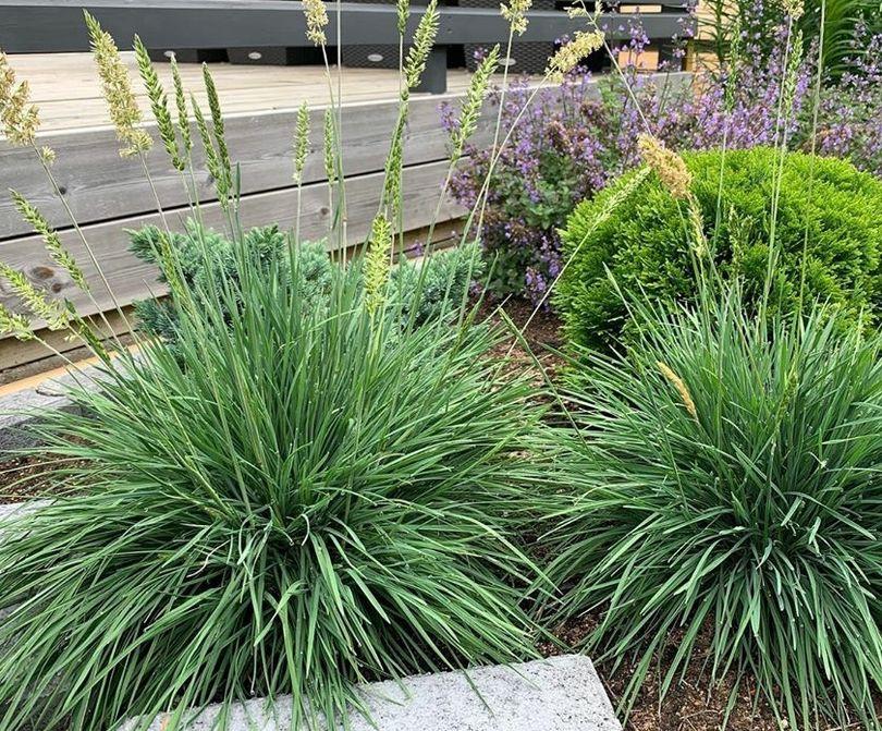 fakkelgras tuinplanten siergras border beplantings