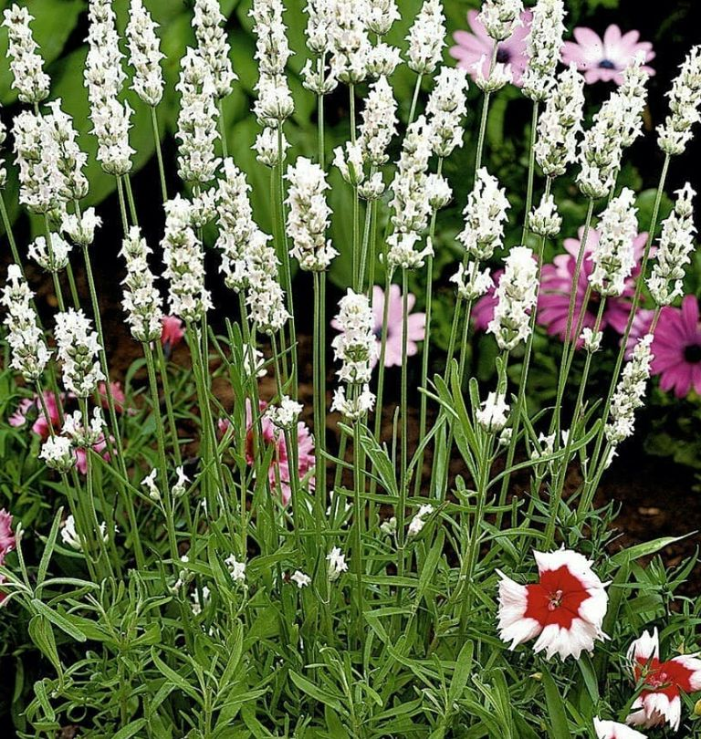 witte lavendel lavandula alba wit bloemen tuin