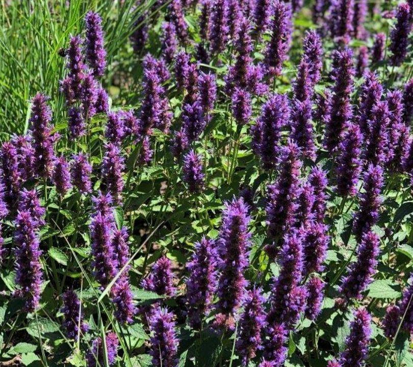 Paarse tuinplanten vlinderlokkers