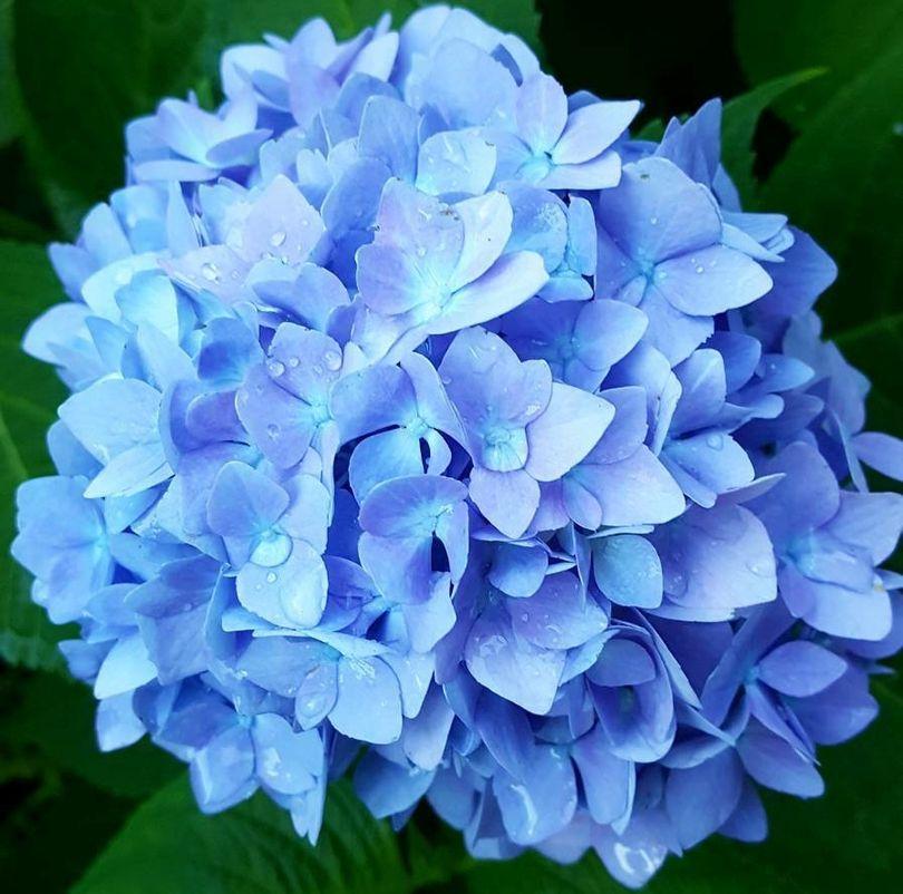 Nikko blue hortensia voor de schaduw