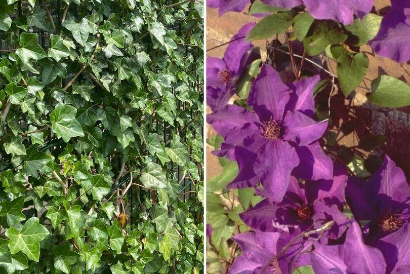 Hedera haag bloemen scherm paars