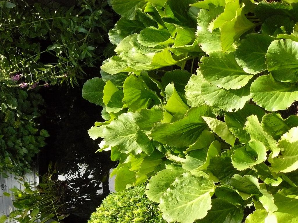 bergenia-cordifolia-1499242142_src.jpg