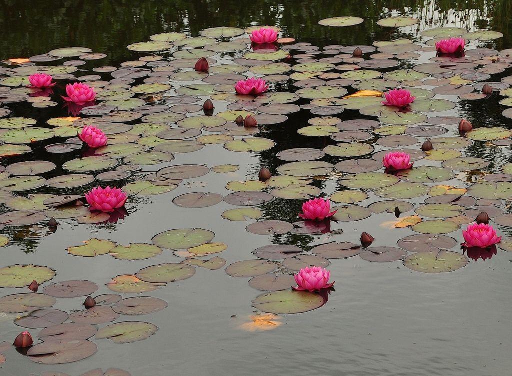 nymphaea-marliaceae-rosea-closeup-1512396256_src.jpg