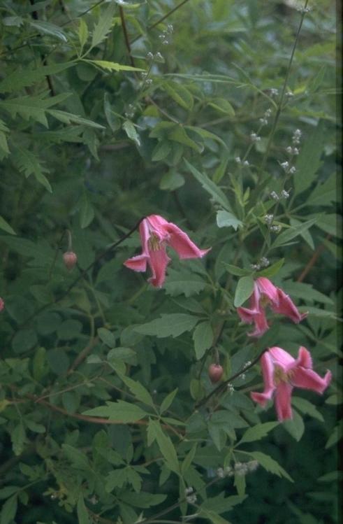 Clematis 'Etoile Rose'
