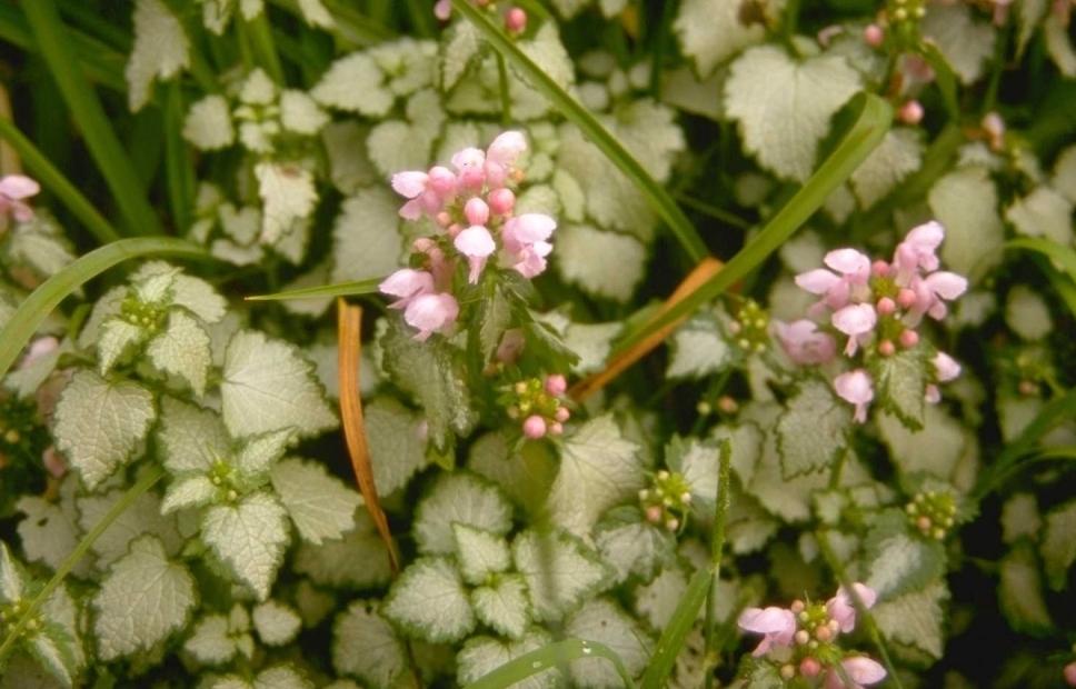 Gevlekte dovenetel - Lamium maculatum 'James Boyd Parselle'