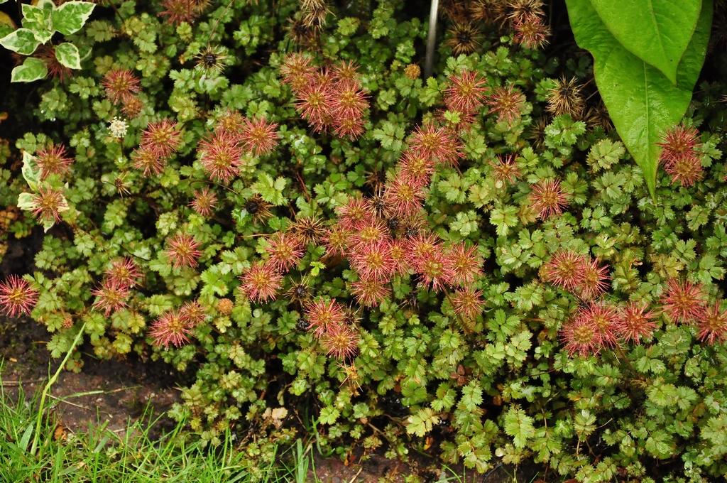 Stekelnootje - Acaena anserinifolia