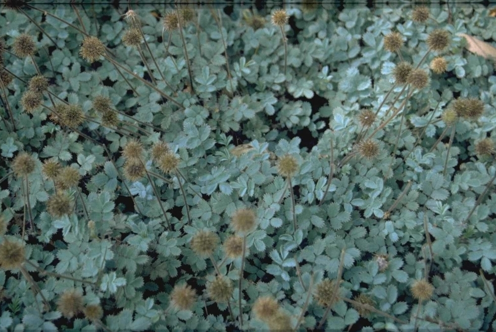 Stekelnootje - Acaena caesiiglauca