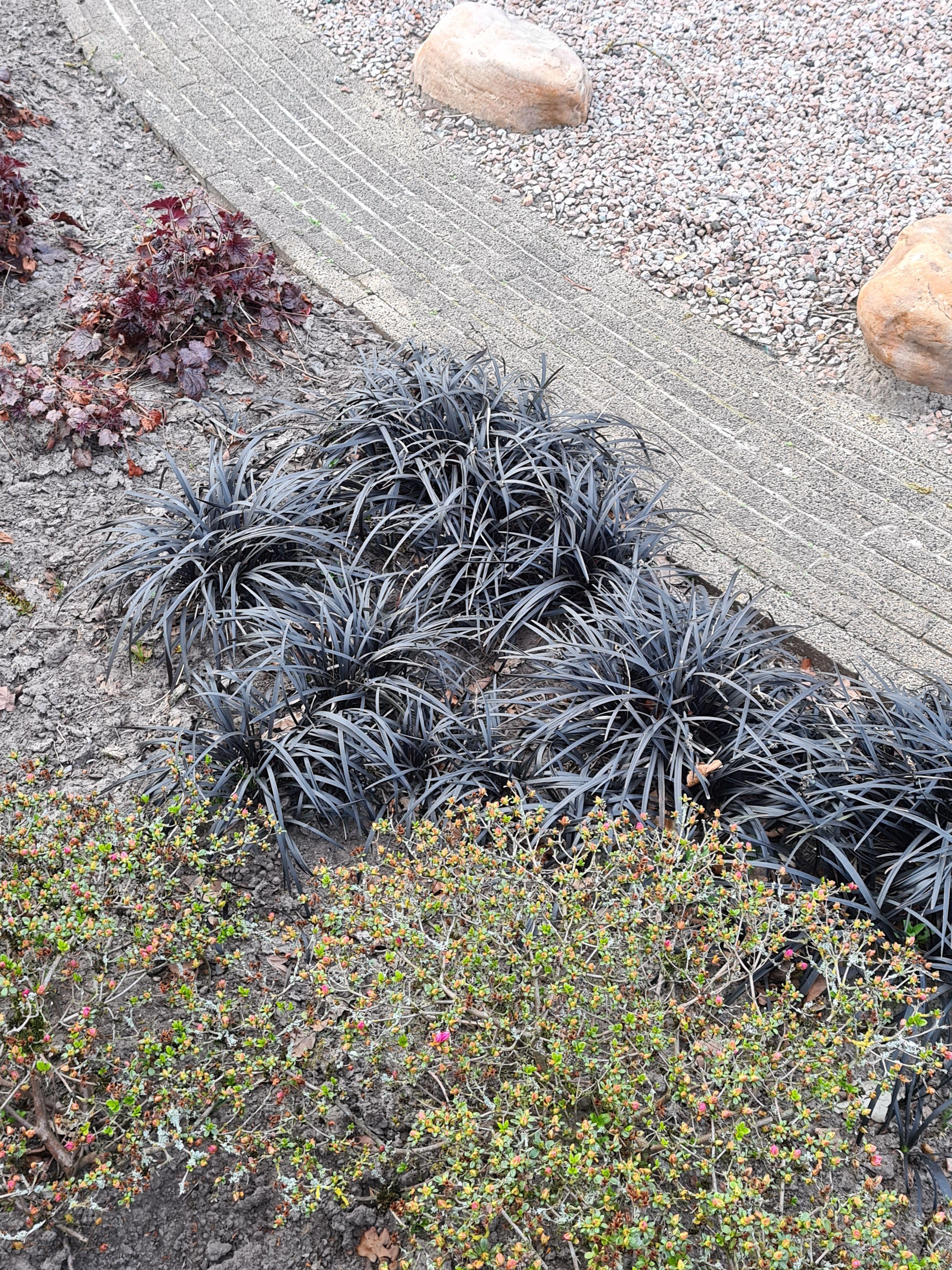 Zwart gras siergras niger prachtige siergrassen