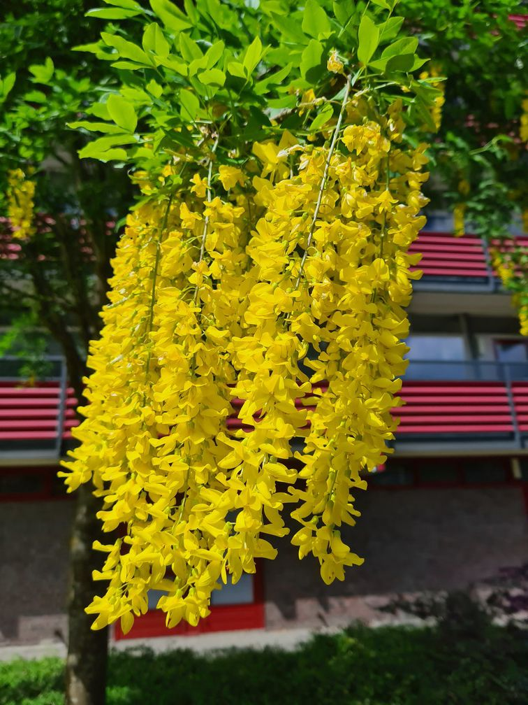 de tros bloemen van de goudenregenboom