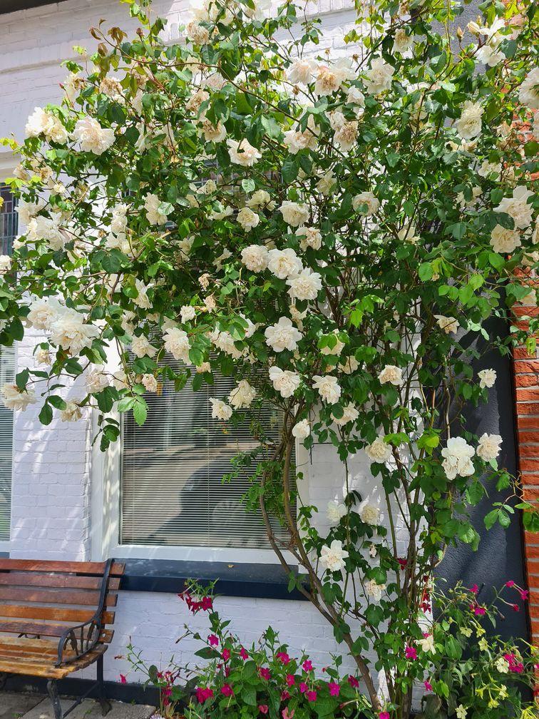 Klimrozen wit kopen yarinde tot aan de tuin geleverd