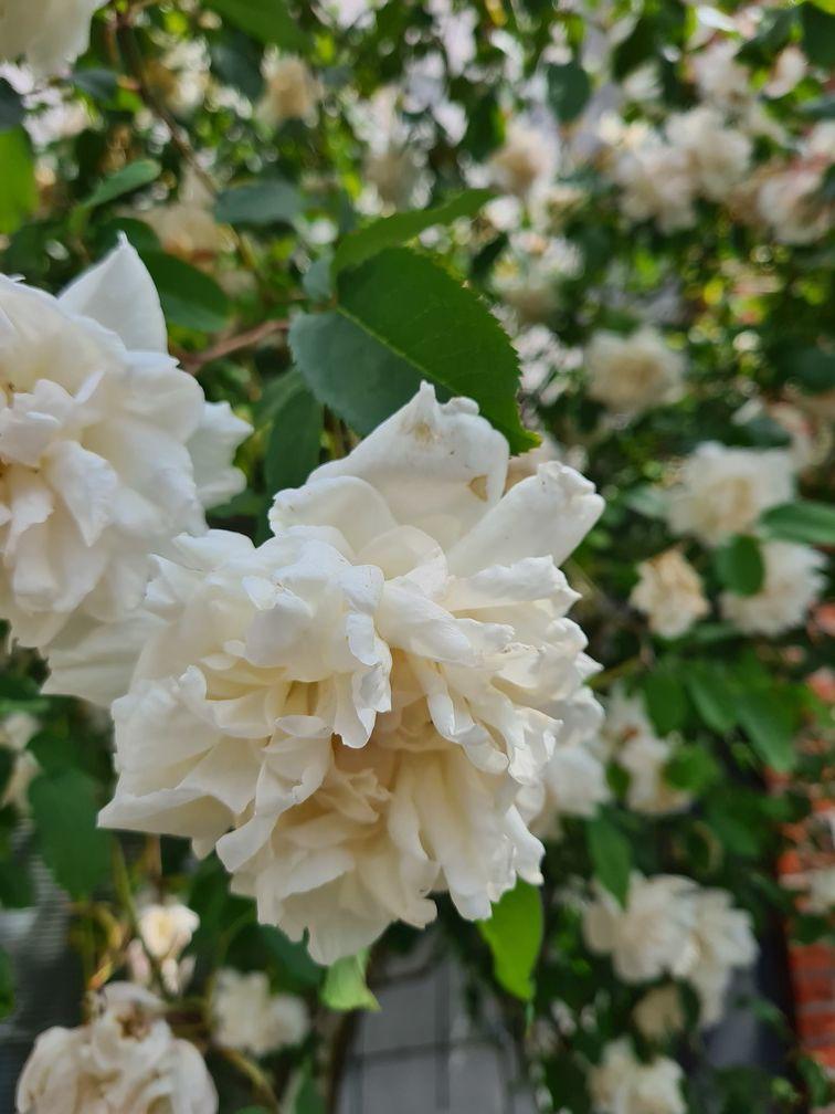 Schitterende klimrozen bloei wit bloemen geuren rozen