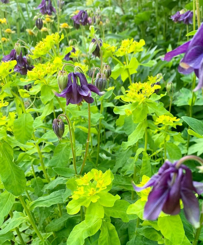 Akelei tuinplanten paars kleibodem