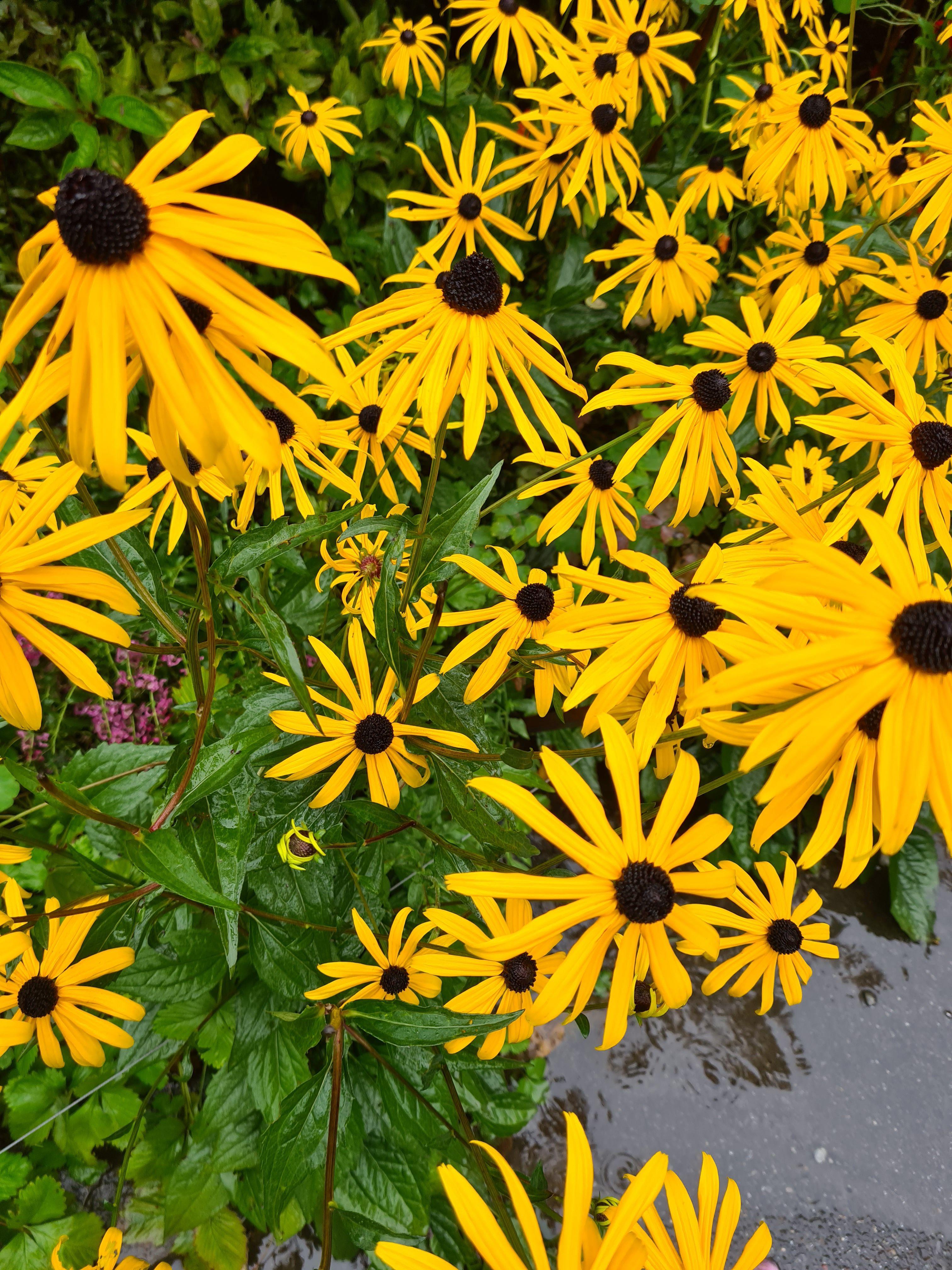 Rudbeckia geel bloeiende border tuin