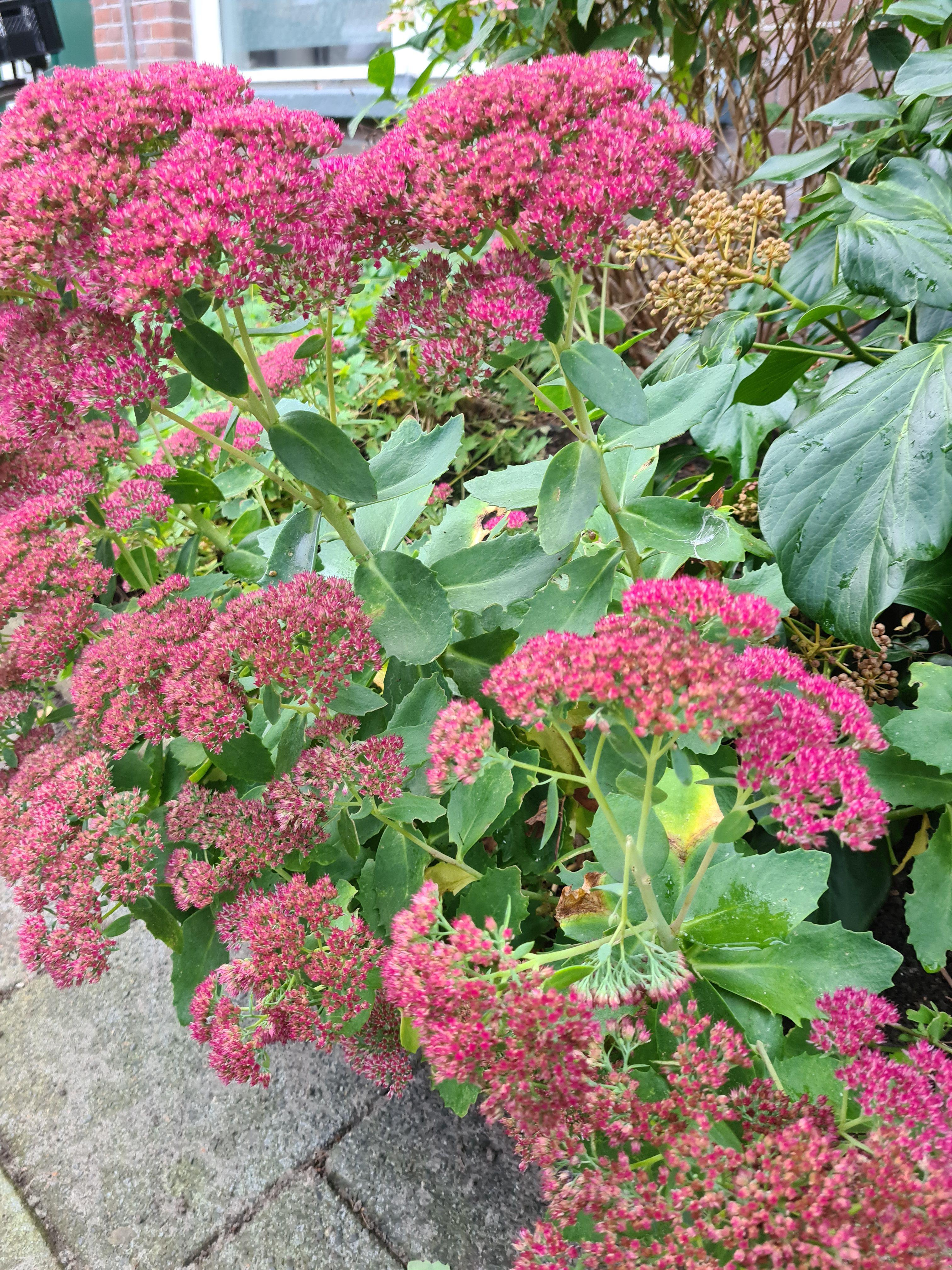 Hemelsleutel sedum vetkruid tuinplanten borderbeplanting