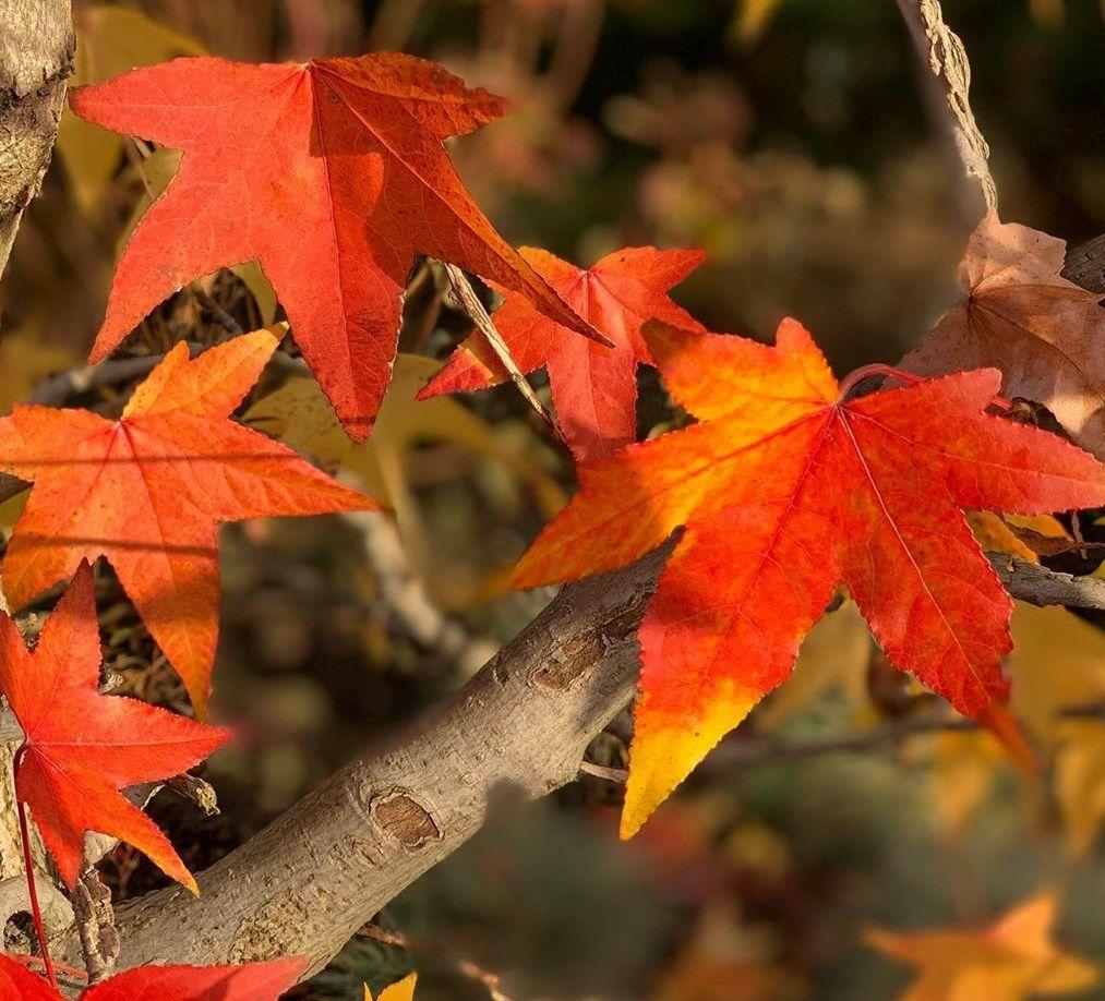 Amberboom herfstkleuren leivormen