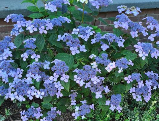 schermbloem hortensia blauw