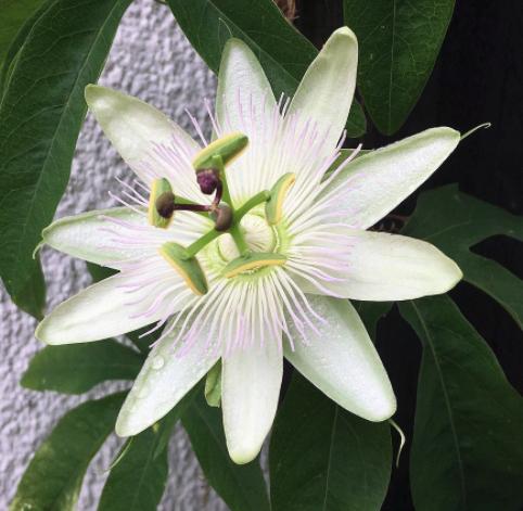 Passiebloem - Passiflora caerulea 'Constance Elliott'