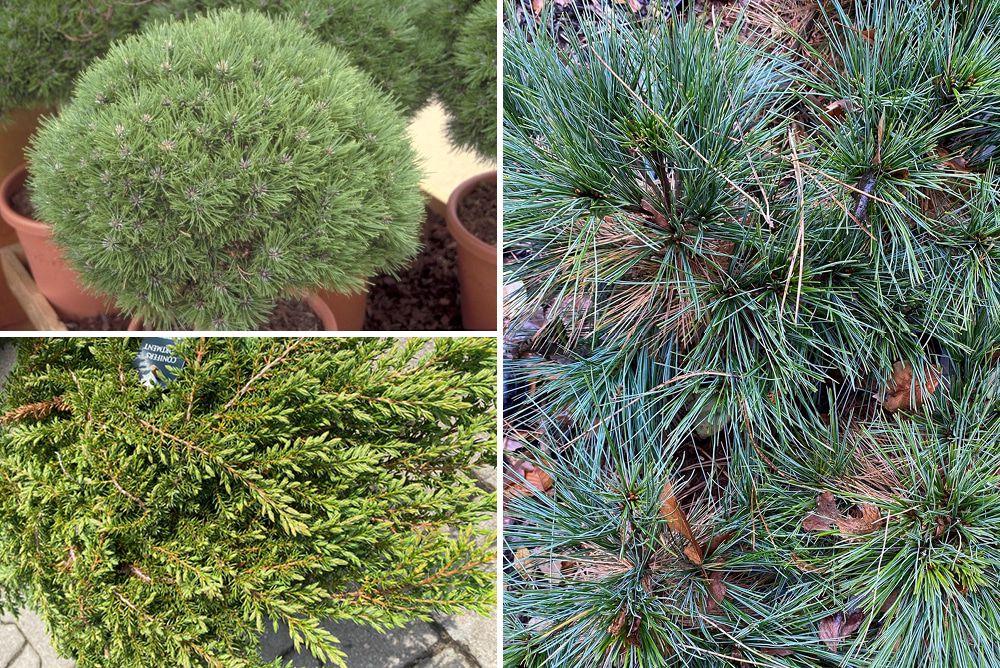 Borderplan Naomi - Pinus heesters strandtuin - Halfschaduw & Zon
